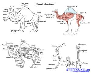 anatomi unta